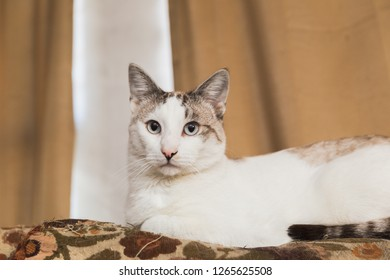 Adult cat with white and gray fur and blue eyes sits on a couch.