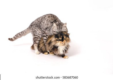 adult cats mate on a white background