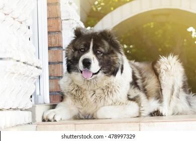 Adult Caucasian Shepherd dog. Fluffy Caucasian shepherd dog is lying on the ground