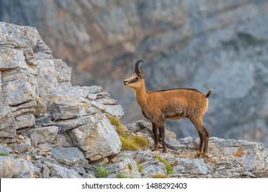 Adult Chamois (Rupicapra rupicapra) Olympus Mountains, Greece