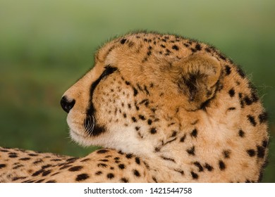 An adult Cheetah (Acinonyx jubatus) close up of the head in profile, against a blurred natural background, South Africa