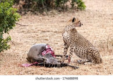 Adult cheetah feasting on wildebeest kill, Masai Mara National Reserve, Kenya, East Africa