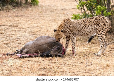 Adult cheetah feasting on wildebeest kill, Masai Mara National Reserve, Kenya