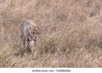 Adult cheetah fwalking through tall grass, Masai Mara National Reserve, Kenya, East Africa