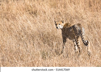 Adult cheetah looking back while walking into tall grasses, Masai Mara National Reserve, Kenya, East Africa