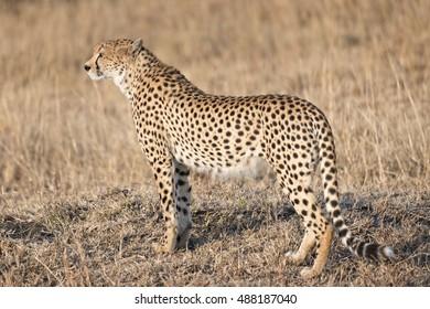 Adult cheetah looking for prey, Masai Mara, Kenya