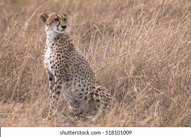 Adult cheetah resting after succesfull hunting ,  Kenya, East Africa
