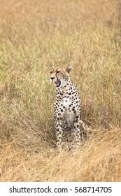 Adult cheetah  sits in tall savanna  grass of  Masai Mara National Reserve, Kenya, East Africa