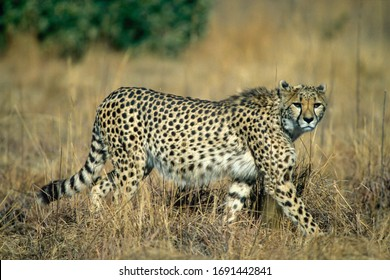 adult cheetah in a South African nature reserve