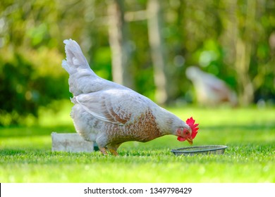 Adult Chicken Hen seen by her feeding trough together with some out of focus hens. These free range chickens are kept as pets, seen in a well maintained garden setting.