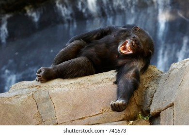 Adult chimpanzee laying down with a mouth wide open