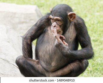 Adult chimpanzee sitting on green grass field with its finger point to its nose