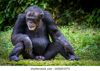 Adult Chimpanzee sitting upright with his genitals in full