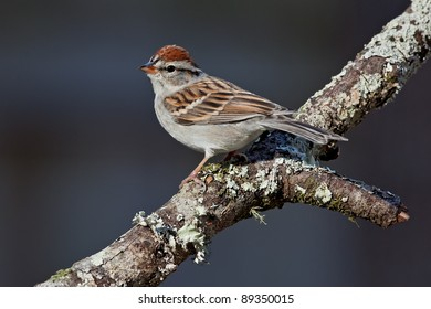 Adult chipping sparrow perched on tree branch.