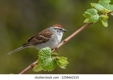 An adult Chipping Sparrow (Spizella passerina) perched on a grapevine.  This common little sparrow often nests and feeds near our homes.