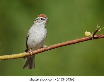 Adult Chipping Sparrow (Spizella passerina) in breeding plumage in Riverside County, California, USA, during spring.Perched on a horizontal twig.