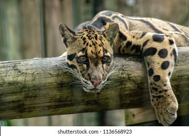 Adult clouded leopard