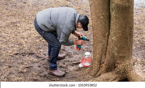 An adult is collecting maple juice on spring. Making a hole drilling a tree