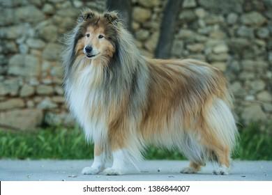 Adult colley dog shepherd old
