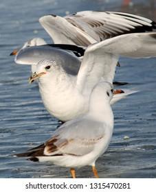 Adult Common gull (Larus canus) in winter plumage on ice, Belarus