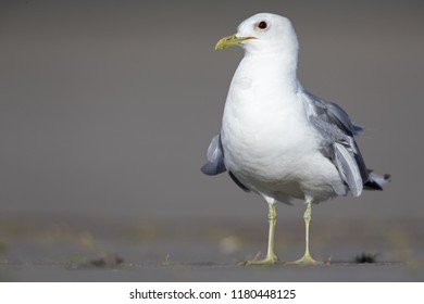 An adult common gull or Mew gull (Larus canus standing on a parking lot in the ports of Bremen Germany.