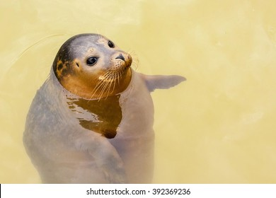 An adult common or harbour (harbor) seal (Phoca vitulina) buoyant in water and appearing to point to its left, across to the right hand side of the frame.