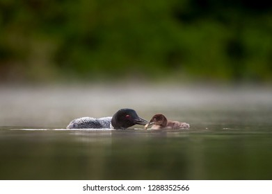 An adult Common Loon feeds its small chick a crayfish in the calm water with a low fog hanging.