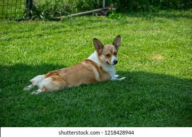 Corgi Puppies On Lawn Stock Photo (Edit Now) 622272020