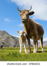 An adult cow and calf on the mountain pastures in the Altai