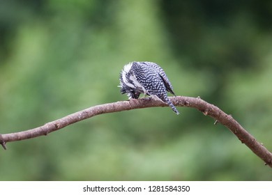 Adult Crested kingfisher (Megaceryle lugubris), high angle view, back shot, dressing on the twig over the riverbank at a small town near Chiang Dao Wildlife Sanctuary, Chiang Mai, northern of Thailand