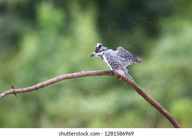 Adult Crested kingfisher (Megaceryle lugubris), high angle view, side shot, dressing on the twig over the riverbank at a small town near Chiang Dao Wildlife Sanctuary, Chiang Mai, northern of Thailand