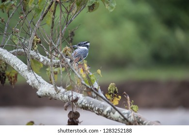 Adult Crested kingfisher (Megaceryle lugubris), high angle view, back shot, resting on the twig over the riverbank at a small town near Chiang Dao Wildlife Sanctuary, Chiang Mai, northern of Thailand.