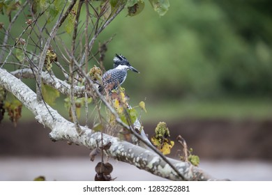 Adult Crested kingfisher (Megaceryle lugubris), high angle view, side shot, resting on the twig over the riverbank at a small town near Chiang Dao Wildlife Sanctuary, Chiang Mai, northern of Thailand.