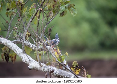 Adult Crested kingfisher (Megaceryle lugubris), high angle view, front shot, resting on the twig over the riverbank at a small town near Chiang Dao Wildlife Sanctuary, Chiang Mai, northern of Thailand
