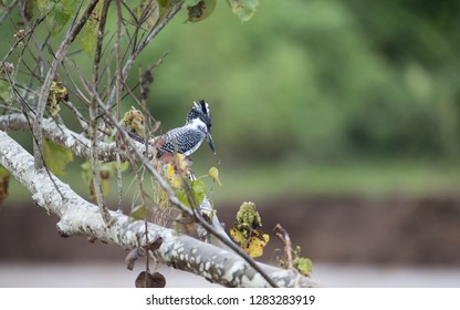Adult Crested kingfisher (Megaceryle lugubris), high angle view, side shot, looking from twig over the riverbank at a small town near Chiang Dao Wildlife Sanctuary, Chiang Mai, northern of Thailand.