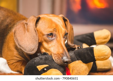 Adult dachshund playing with a stuffed toy while laying near a fireplace.