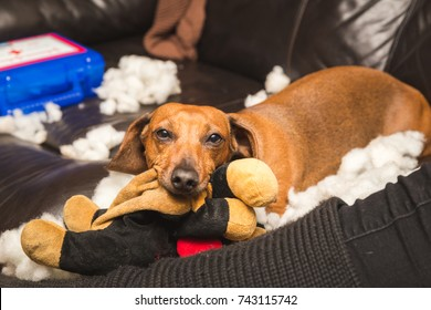 Adult dachshund tearing the stuffing out of a toy while sitting on a couch.
