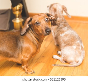Adult dachsund looking at camera while another sits looking away.