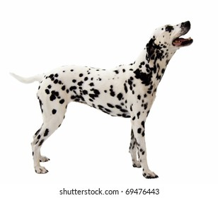 Adult Dalmation Standing on White Background