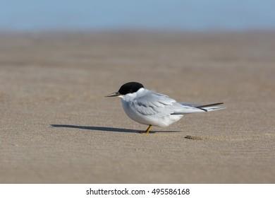 An Adult Damara Tern (Sternula balaenarum) resting on the beach, Cape Recife, South Africa