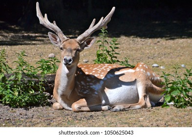 Adult deer with big beautiful horns
