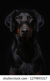 Adult doberman dog sitting on black background