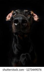 Adult doberman on black background