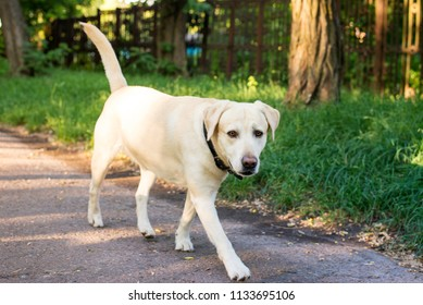 Adult dog breed Labrador goes through the park