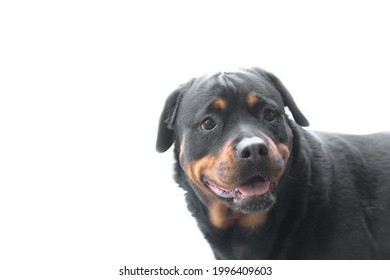 Adult dog breed Rottweiler head close-up portrait with a smiling face on white background. In profile.