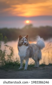 Adult dog on the lake at sunset