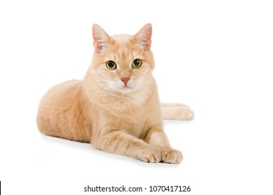 Adult domestic cat isolated on white background
