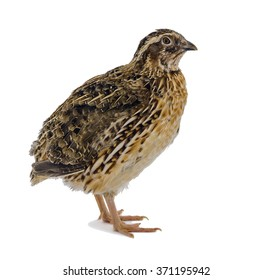 Adult domesticated quail on white background