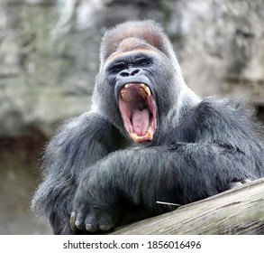 The adult dominant male gorilla yawns with its mouth open. The leader of a herd of large primates yawns in a calm sleepy state.