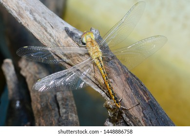 An adult dragonfly Anisoptera emerges from its nymph exoskeleton beside the waterhole in which it has lived as an aquatic nymph, now to hunt flying insects above as an adult.
